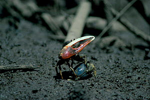Fiddler crab male courting female {Uca sp} Queensland, Australia Townsville  -  Mike Potts