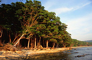 Littoral tropical rainforest of Havelock Island, Andaman Islands, Indian Ocean.  -  Ian Lockwood