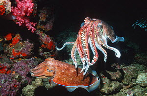 Pharaoh cuttlefish {Sepia pharaonis} male shields egg laying female, Andaman sea, Thailand  -  Georgette Douwma