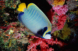 Emperor angelfish at coral reef {Pomacanthus imperator} Andaman sea, Thailand  -  Georgette Douwma
