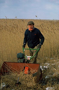 Reed cutting, Cley Nature Reserve, Norfolk, UK - Martin H Smith