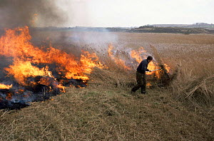 Controlled burning of cut reeds, Cley Nature Reserve, Norfolk, UK - Martin H Smith
