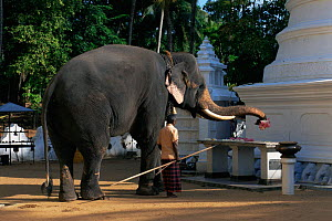 Domestic Tusker Asian elephant (Elephas maximus) presents lotus flowers at Buddhist temple, Kataragama, Sri Lanka's second most sacred place of pilgrimage - Toby Sinclair