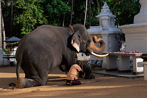 Domestic Tusker Asian elephant (Elephas maximus) kneeling infront of Buddhist temple, Kataragama, Sri Lanka's second most sacred place of pilgrimage - Toby Sinclair