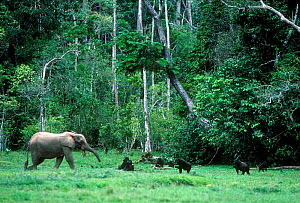 Western lowland gorillas and Forest elephant in rainforest clearing, Odzala NP, Congo  -  Jabruson