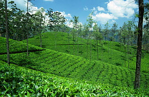 Tea plantation near Kandy, Sri Lanka  -  Ingo Arndt