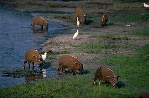 Bush pigs {Potamochoerus porcus} leaving 'mangoire' in bai for forest , Odzala NP, Rep of Congo, Central Africa  -  Jabruson