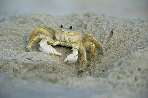 Ghost crab at burrow entrance {Ocypode ceratophthalma} New Jersey, USA, Cape May  -  Doug Wechsler