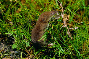 Common shrew {Sorex araneus} UK  -  Mike Read