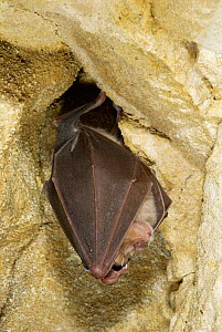 Greater horseshoe bat roosting {Rhinolophus ferrumequinum} Somerset, UK. - Phil Chapman