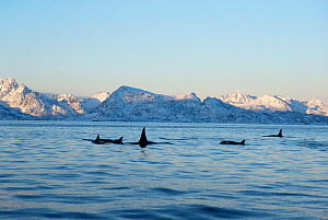 Pod of Killer whales {Orcinus orca} with snowy mountains behind, Tysfiord, Norway  -  Martha Holmes