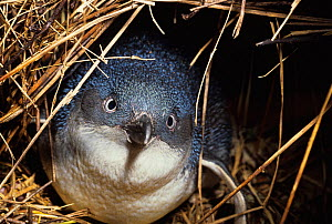 Little / Blue penguin {Eudyptula minor} in burrow, New Zealand  -  John Cancalosi