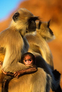 Southern plains grey / Hanuman langur {Semnopithecus dussumieri} mother and baby, Jodhpur, Rajasthan, India - Ingo Arndt