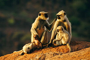 Southern plains grey / Hanuman langur {Semnopithecus dussumieri} females and young,  Jodhpur, India - Ingo Arndt