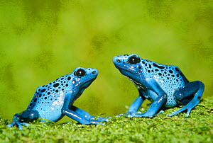 Blue poison arrow frogs {Dendrobates azureus} South America - Ingo Arndt