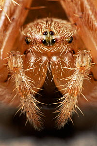 Garden spider close-up head portrait {Araneus diadematus} Germany - Ingo Arndt