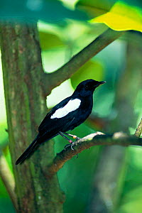 Seychelles magpie robin in tree {Copsychus sechellarum}, Seychelles, Indian Ocean  -  Pete Oxford