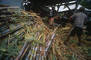 Sugar cane processing plant harvested canes Guadeloupe, Caribbean Marie Galante. August 2000  -  Jean E. Roche