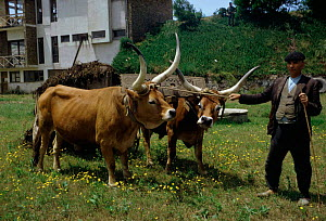 Domestic Longhorn cattle with farmer Portugal - long horn  -  Jean E. Roche