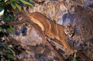 South American puma {Felis concolor} occurs Andes & Ecuador, South America - Pete Oxford