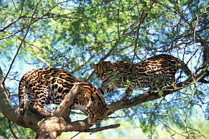 Ocelots playing in tree {Felis pardalis}, occur central and south America  -  Pete Oxford