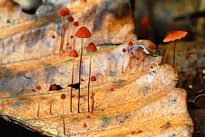 Toadstools growing on fallen leaves Uduwattakele FR, Sri Lanka  -  Elio Della Ferrera
