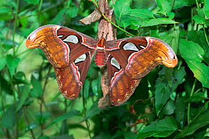 Atlas moth {Attacus atlas} on nurse plant Sri Lanka - Elio Della Ferrera