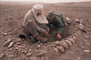 David Attenborough & palaeontologist Dick Moody digging up dinosaur remains, Niger, North Africa on location for LOST WORLDS VANISHED LIVES 1988  -  NEIL NIGHTINGALE