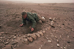 David Attenborough digging up Sauropod dinosaur remains, Niger, North Africa, on location for LOST WORLDS VANISHED LIVES 1988  -  NEIL NIGHTINGALE