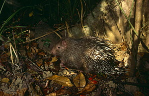 Common short tailed porcupine {Hystrix brachyura} foraging in litter, Flores, Indonesia - Michael Pitts