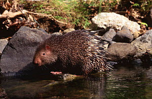 Common short tailed porcupine at waters edge {Hystrix brachyura} Flores, Indonesia - Michael Pitts