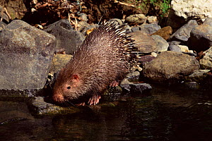 Common short tailed porcupine at waters edge {Hystrix brachyura} Flores Indonesia - Michael Pitts