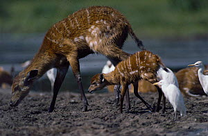 Sitatunga doe and calf {Tragelaphus spekei} searching for seeds in dung left by elephants drinking , Maya Maya Nord Bai forest clearing, Odzala NP, Congo, West Africa  -  Jabruson