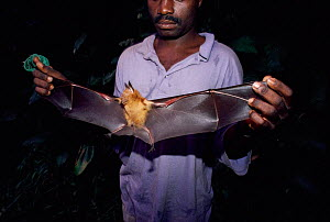 Man holding Commerson's leaf nosed bat {Hipposideros commersoni} by wings, Odzala NP, Congo, Africa  -  Jabruson