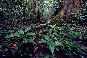 Tropical rainforest ground layer vegetation and buttress root system, Odzala NP, Congo, Africa  -  Jabruson