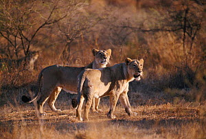 Asiatic lion female and young hunting {Panthera leo persica} Gir NP, Gujarat, India. Critically endangered species  -  Elio Della Ferrera