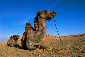 Domesticated Bactrian camels resting {Camelus bactrianus} Gobi desert, Mongolia f - Pete Oxford
