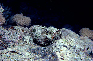Devil scorpionfish camouflaged on reef {Scorpaenopsis diabolus} Red Sea  -  Jeff Rotman