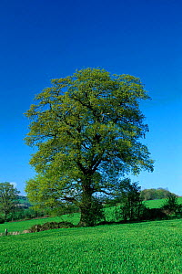 English oak tree in spring {Quercus robur}, UK. Seasons sequence 1/4  -  WILLIAM OSBORN