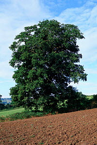 English oak tree in summer {Quercus robur} Wilts, UK Seasons sequence 2/4  -  WILLIAM OSBORN