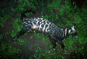 Dead African civet - decomposition sequence 1/2 Odzala NP, Republic of Congo  -  Jabruson