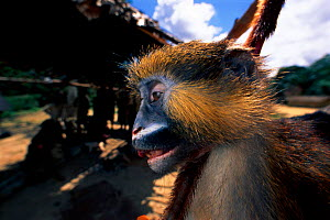 Dead Moustached monkey for sale as bushmeat food, Republic of Congo - Jabruson