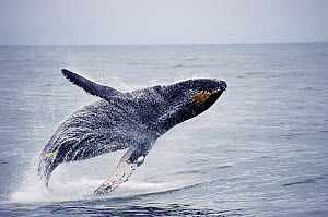 Humpback whale breaching {Megaptera novaeangliae} Monterey Bay, California, USA.  -  Todd Pusser