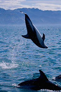 Dusky dolphin doing backflip {Lagenorhynchus obscurus}, Kaikoura, New Zealand, Pacific  -  Todd Pusser