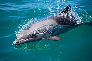 Heavisides dolphin at surface {Cephalorhynchus heavisidii}, Brittania Bay, South Africa  -  Todd Pusser