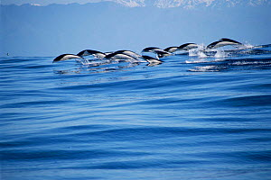 Southern right whale dolphins porpoising {Lissodelphis peronii} Kaikoura, New Zealand - Todd Pusser
