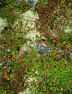 Close up detail of prostrate heath with various mosses, Cairngorm Highlands, Scotland, UK  -  Jim Hallett