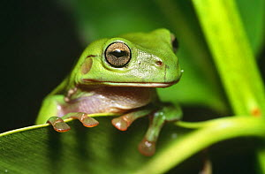 Green treefrog portrait (Litoria caerulea), Point Douglas, Queensland, Australia  -  Steven David Miller