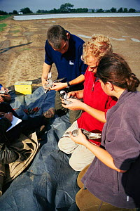 Volunteers learning how to ring birds, Wash Wader Ringing Group, The Wash, North Norfolk England  -  Nick Barwick