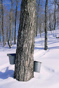 Sugar maple trees with buckets to collect maple sap for syrup production, Vermont, USA  -  Lynn M Stone